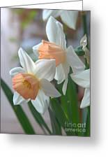 Delicate Daffodils  Greeting Card