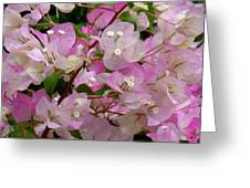 Delicate Pink Bougainvillea Greeting Card