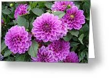 Delightful Dahlias Greeting Card