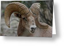 Desert Big Horn Greeting Card