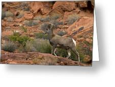 Desert Bighorn Sheep Greeting Card