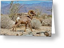 Desert Bighorn Sheep Ram At Borrego Greeting Card