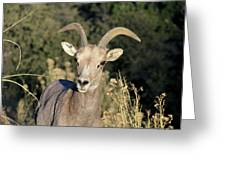 Desert Bighorn Sheep Zion National Park Greeting Card