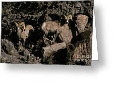Desert Bighorns Ovis Canadensis Nelsoni Greeting Card