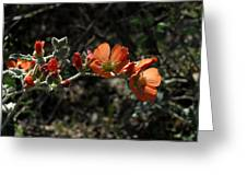 Desert Globemallow Greeting Card