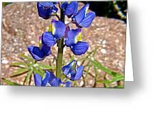 Desert Lupine-arizona   Greeting Card