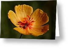 Desert Poppy Greeting Card