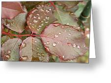 Dew Drops On The Rose Leaves Greeting Card