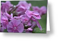 Dew On Phlox Greeting Card
