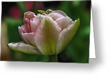 Dew On The Tulip Greeting Card
