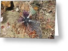 Diadema Urchin Greeting Card