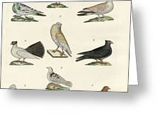 Different Kinds Of Pigeons Greeting Card