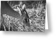 Dik Dik Close-up Greeting Card