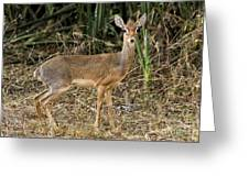 Dik-dik Greeting Card