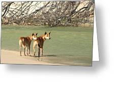 Dingo Duo Greeting Card