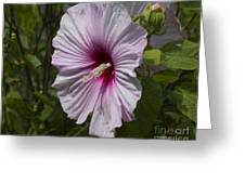 Dinner Plate Hibiscus Greeting Card