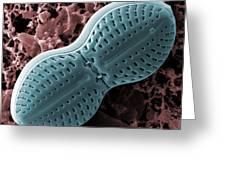 Diploneis Diatom, Sem Greeting Card