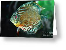 Discus Symphysodon Discus Greeting Card
