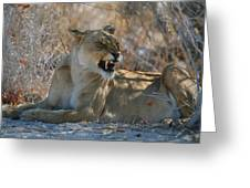 Disgruntled Lioness Greeting Card