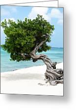 Divi Divi Tree In Aruba Greeting Card
