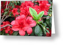Divine Scarlet Azalea Greeting Card