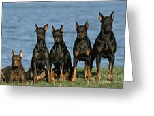 Doberman Pinschers Greeting Card