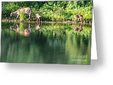 Doe And Fawns At The Pond Greeting Card