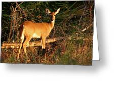 Doe At Sunset. Lake Kissimmee S.p. Greeting Card