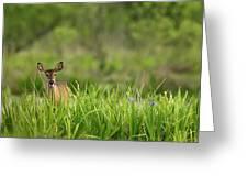 Doe Feeding On Prairie Iris, Grimes Greeting Card