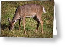 Doe In Cades Cove 2 Greeting Card