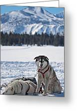 Dog Team Greeting Card by Duncan Selby