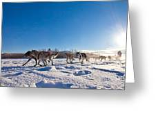 Dog Team Pulling Sled Greeting Card