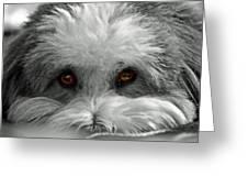 Coton Eyes Greeting Card