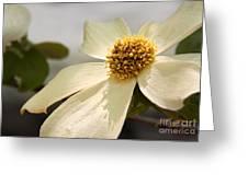 Dogwood Bloom Greeting Card