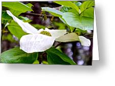 Dogwood In Yosemite Valley-2013 Greeting Card