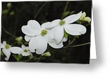 Dogwood Tree Blooms Greeting Card