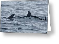 dolphins in Panama Greeting Card