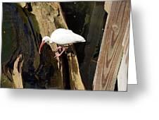White Ibis Bird Greeting Card