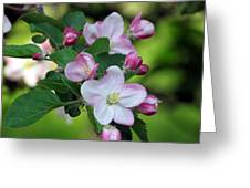 Door County Apple Blossoms Greeting Card