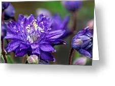 Double Blue Columbine Flower Greeting Card