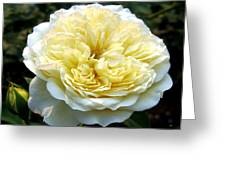Double Cream Rose Greeting Card
