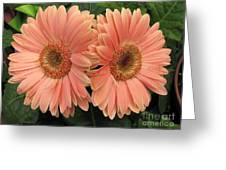 Double Delight - Coral Gerbera Daisies Greeting Card
