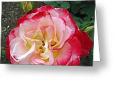 Double Delight Hybrid Tea Rose Greeting Card