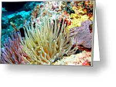 Double Giant Anemone And Arrow Crab Greeting Card
