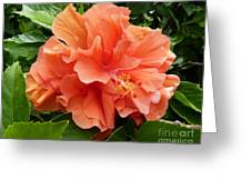 Double Peach Hibiscus Greeting Card