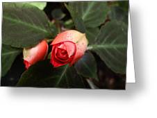 Double Rose Impatiens Greeting Card