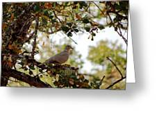 Dove In Autumn Oak Tree Lower Lake Ca Greeting Card