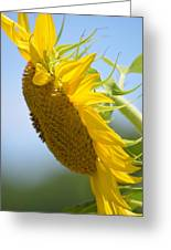 Downcast Sunflower Greeting Card