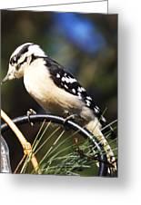 Downy Woodpecker 2 Greeting Card