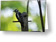 Downy Woodpecker 7448 Greeting Card